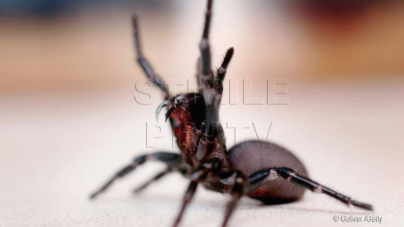 Cel mai veninos paianjen din lume ar putea salva milioane de vieti
