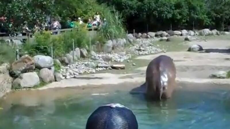 Nu poti sa ratezi asa ceva :)) Hipopotamul care si-a dat AERE. A speriat copiii de la zoo