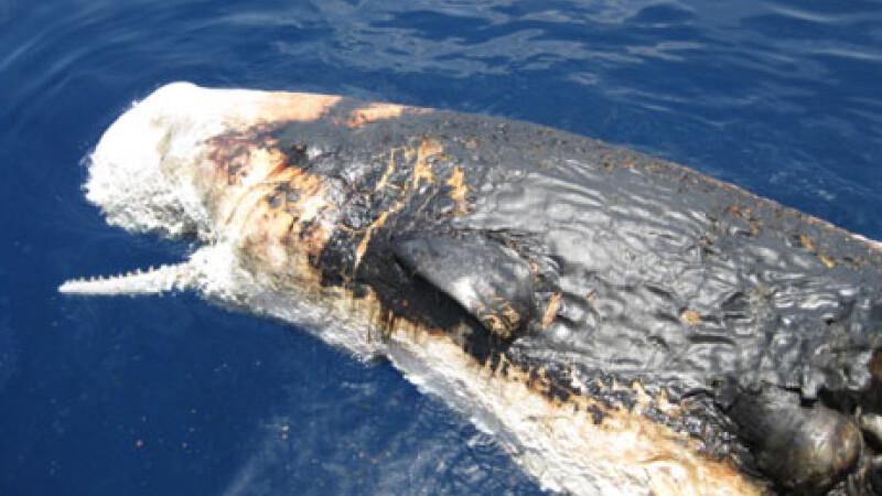 balena moarta, scurgere de petrol