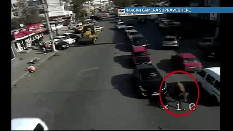 Scene rupte din spectacolele de corida in Braila. Un taur scapat dintr-un camion a ranit 2 persoane