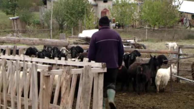 Un tanar din Bistrita s-a specializat in escrocarea ciobanilor. Cum ii convinge sa ii dea miei pe gratis