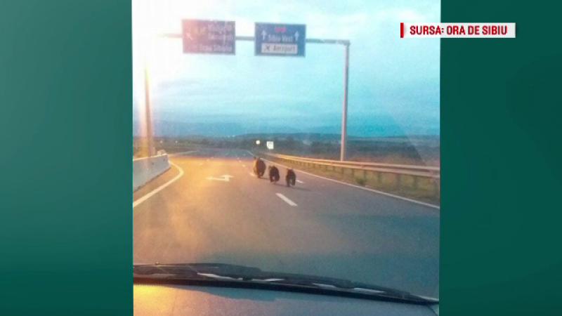 Urși pozați în premieră pe o autostradă în România. Reacția CNAIR