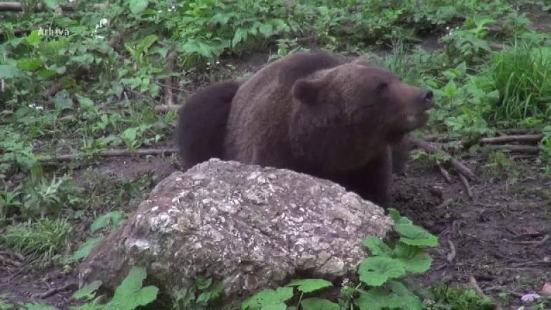 urs, fagaras, atac, bloc, animal, vanatori