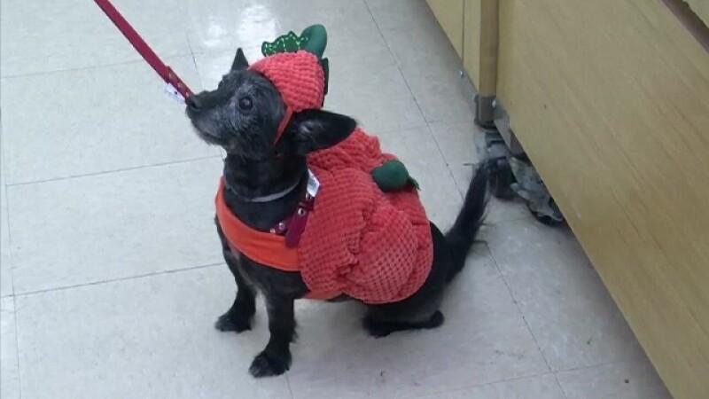 Halloweenul, celebrat și de câini. Milioane de dolari date pe costume
