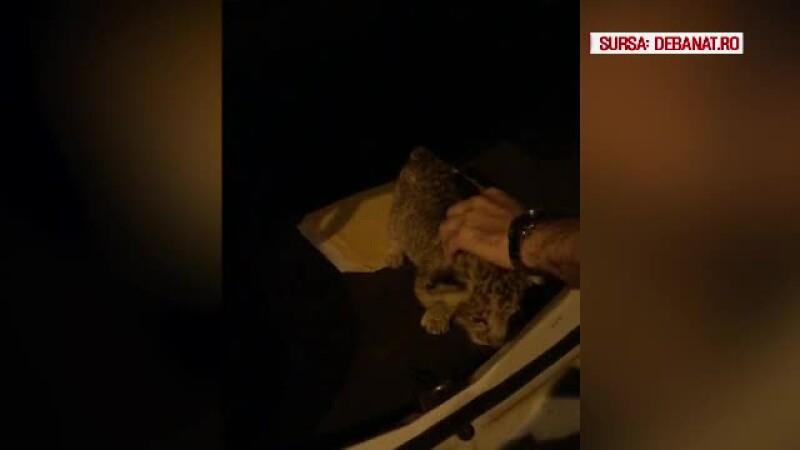 Ce s-a întâmplat cu leul găsit în portbagaj, la Timişoara.