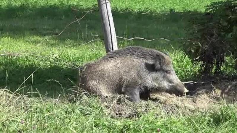 Mistreţ cu pestă porcină, găsit în judeţul Buzău. Ce măsuri au luat autorităţile