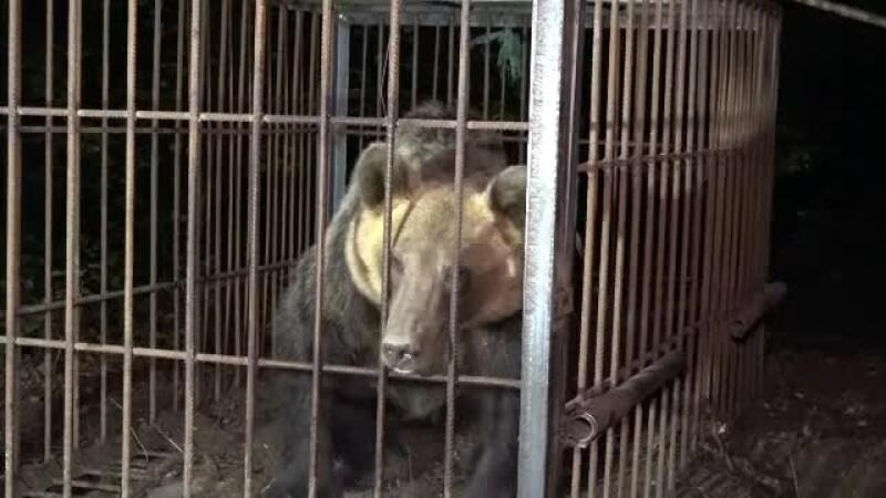 O ursoaică a fost capturată în apropierea staţiunii Sovata