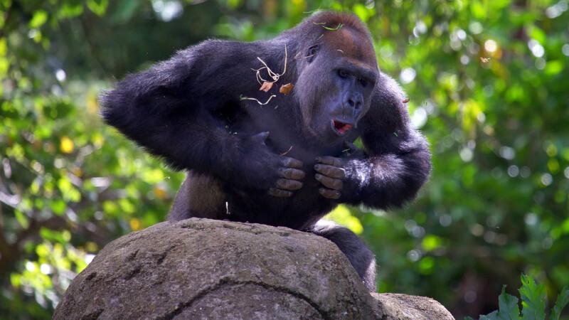 Un bărbat a murit, după ce a fost atacat de maimuțe cu cărămizi