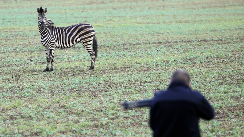 O zebră a fost împușcată pe o șosea din Germania - 1