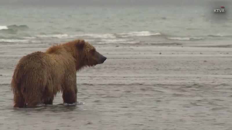 Concurs pentru cel mai gras urs din Alaska