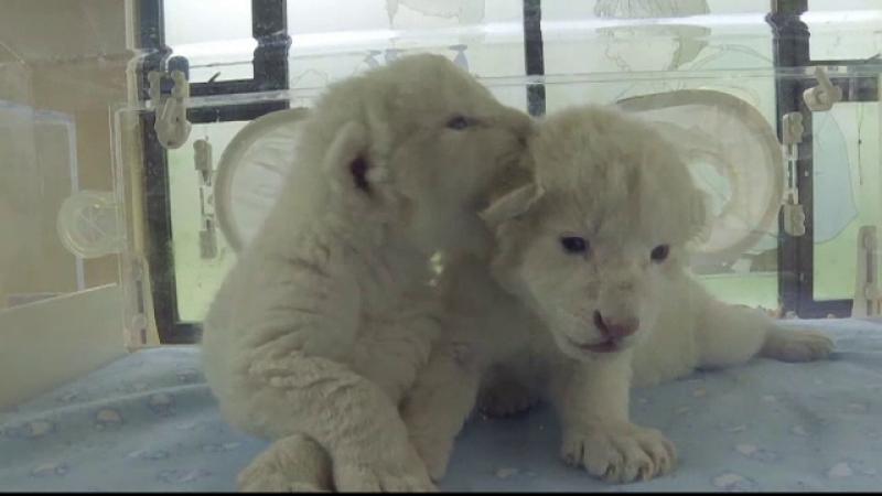 Doi pui de leu alb, vedetele unei grădini zoo