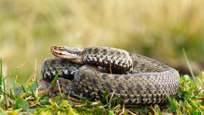 Un bărbat muşcat de o viperă a mers la spitalul din Deva cu șarpele în borcan