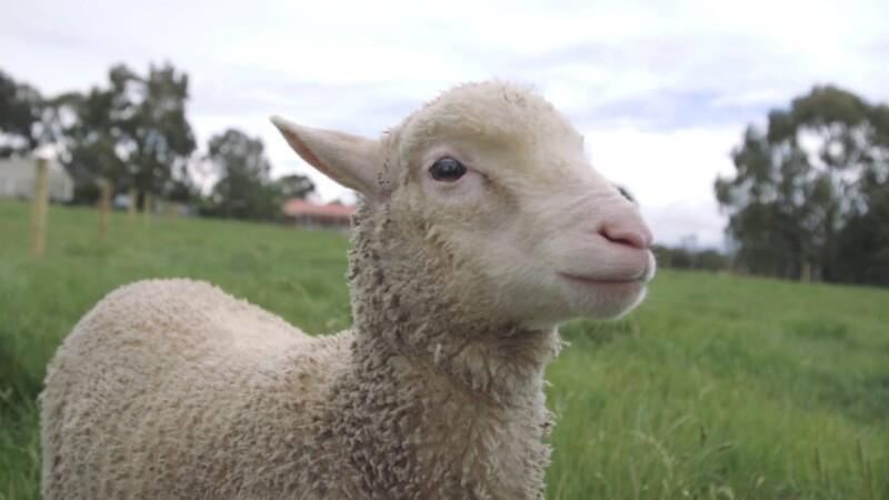 """Animals International lansează campania socială """"Salvează Miorița"""""""
