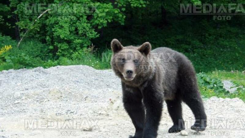 Turisti belgieni, atacati de urs in Bucegi!