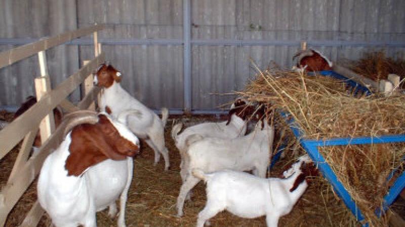 12 capre, eliberate din arest de Ministerul Justitiei din Congo