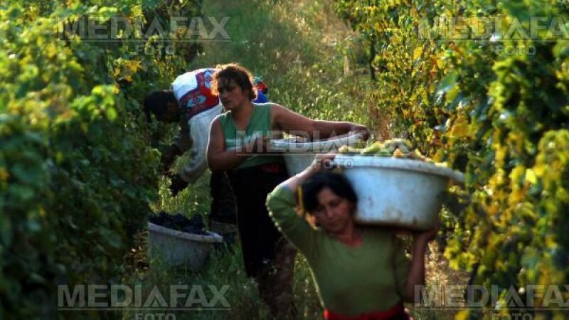 Podgorenii din Recas au sarbatorit aseara recolta de struguri