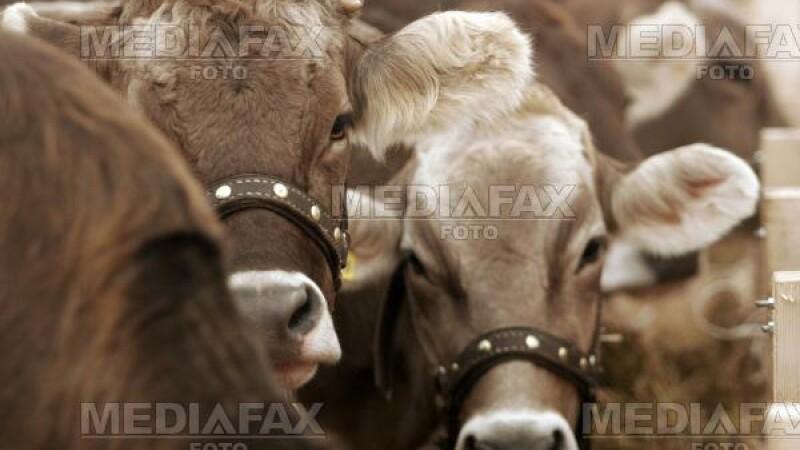 India: vacile, interzise pe strazile din New Delhi