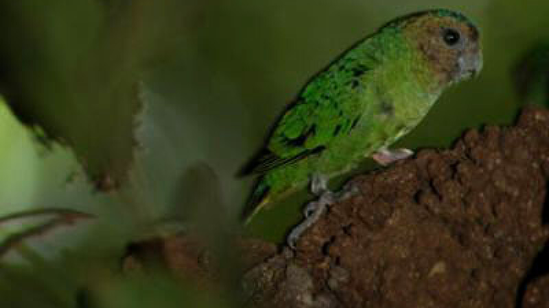 Papagalul Micropsitta pusio