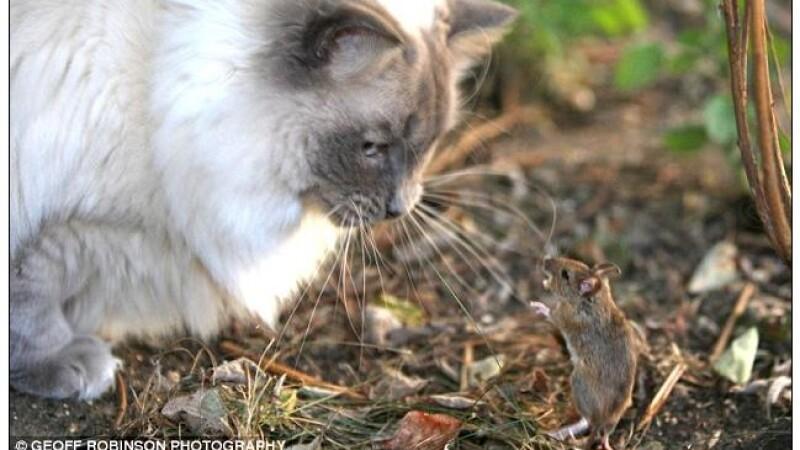 Ce soricel curajos! Si-a aparat casa de o pisica! Vezi GALERIE FOTO!