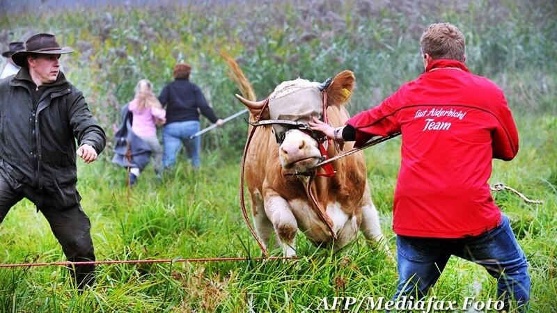 Vaca Yvonne, fugita de acasa de trei luni, a fost gasita. FOTO de la prinderea vacii pribege