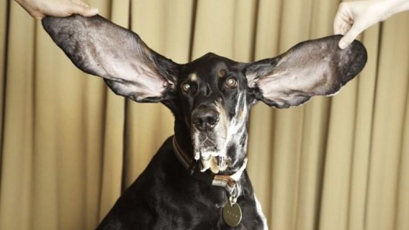 Caine urechi