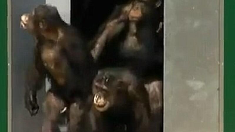 Cimpanzei liberi