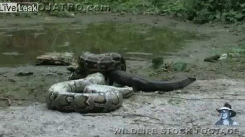 piton ucide un aligator