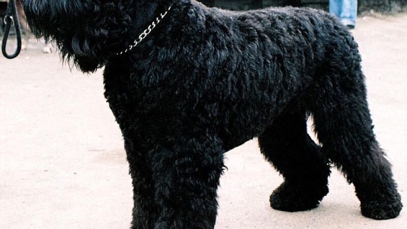 Terrier negru rusesc