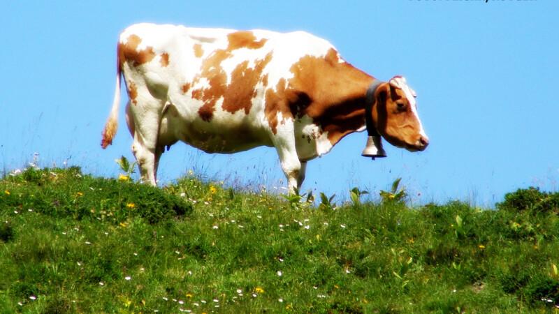 vaca elvetiana cu talanga la gat