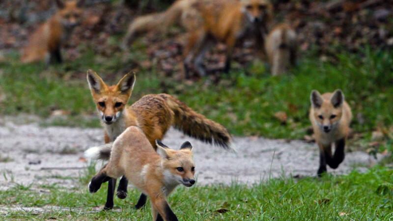 familie de vulpi