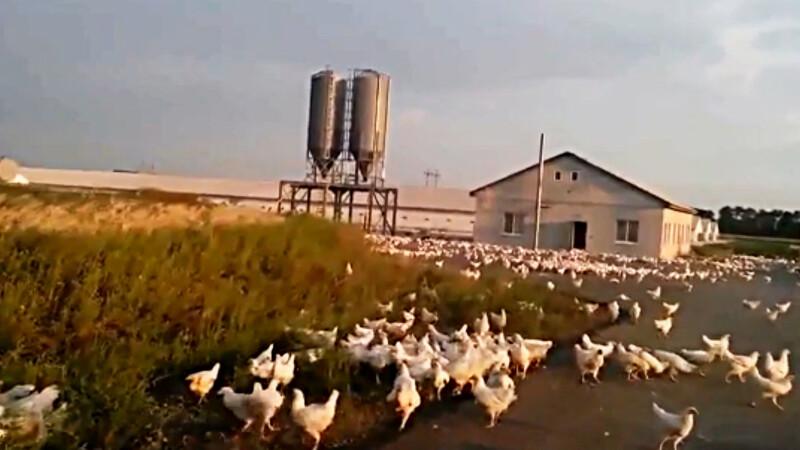 invazie de gaini in Ucraina