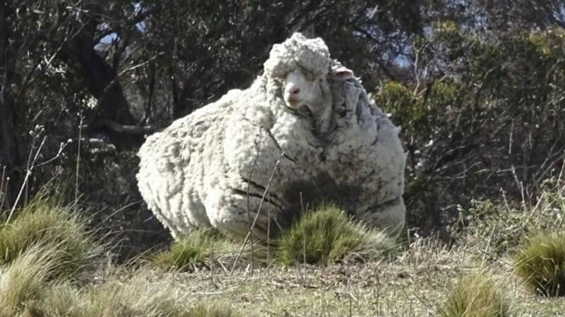 oaie, lana, record mondial- Agerpres