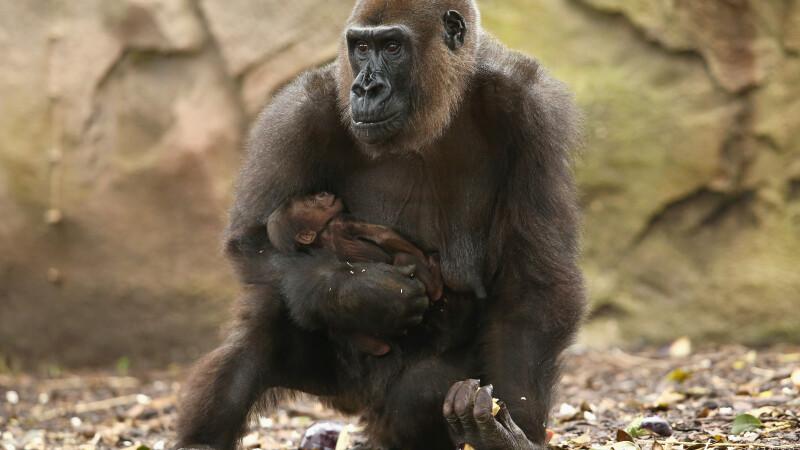 gorila -getty
