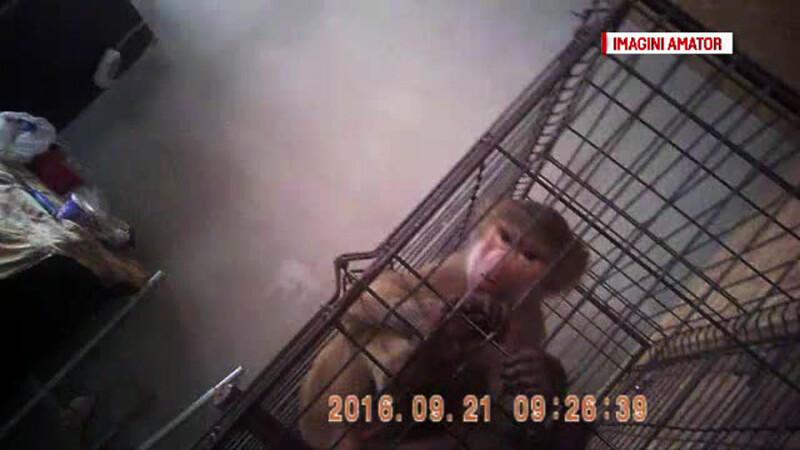 Specie exotica de maimuta, gasita intr-un apartament din Rahova. Ce boli grave poate transmite acest animal