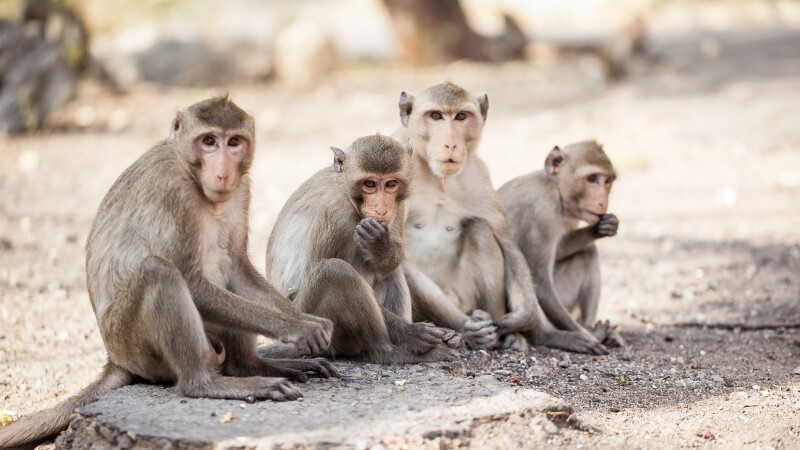 Maimuțe
