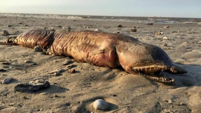 Creatura misterioasă adusă la mal, în Texas, de uraganul Harvey