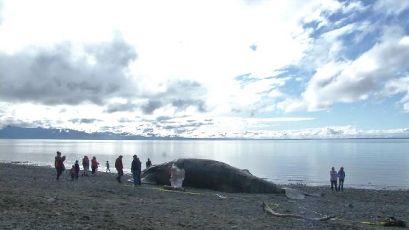 O balenă eșuată a devenit principala atracție turistică de pe o plajă din Alaska