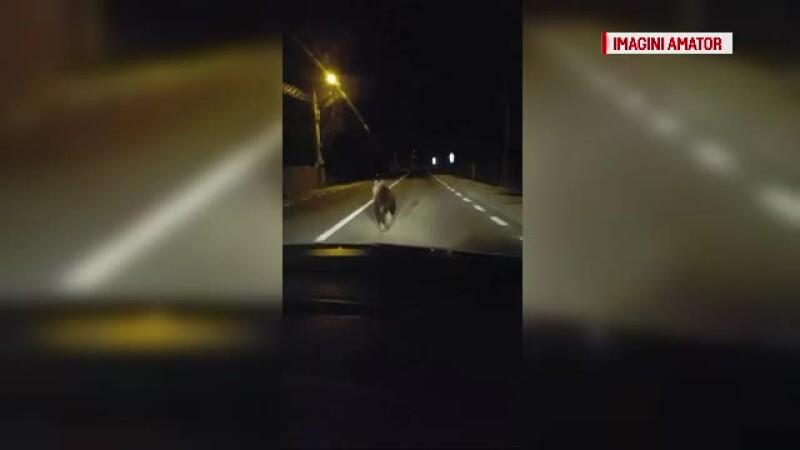 Un urs a fost surprins alergând printr-un sat din Covasna, după care a intrat într-o curte