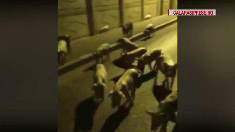 Reacția primarului din Călărași unde zeci de porci, suspecți de pestă, au fost filmați pe străzi