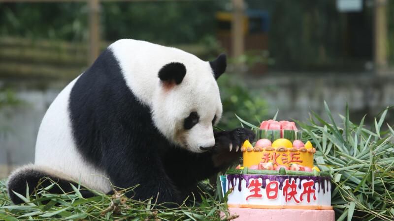 un pui de panda roşu a fost prezentat cu mândrie de o grădină