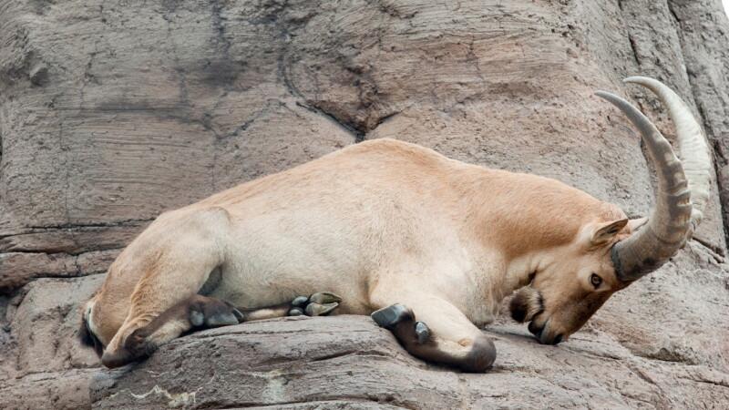 ''Bestie încornorată'' care a evadat de la o grădină zoologică, căutată de polițiștii din UK