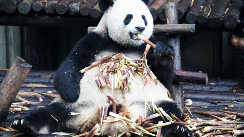Ursul panda Bei Bei, împrumutat americanilor de China, se va întoarce acasă