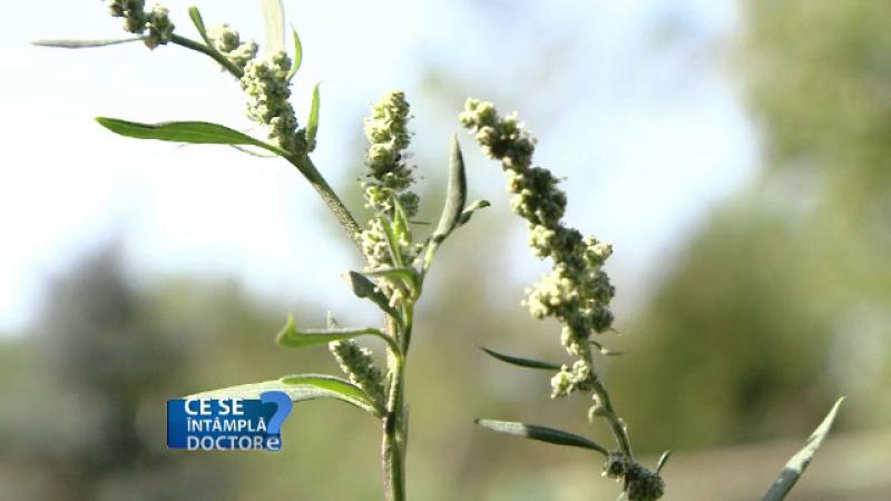 Cum se tratează alergia la ambrozie