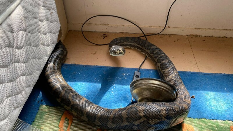 Descoperire de coșmar. Trei șerpi uriași i-au distrus casa după ce tavanul s-a rupt sub greutatea lor