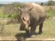 rinocer alb