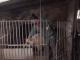 Săteni din Prahova, înșelați de escroci care cumpără porcii cu sume derizorii. Îi păcălesc că au pestă