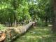 Arbori seculari, căzuți în parcul central din Târgu Jiu, unde se află și operele lui Brâncuși