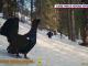 Imagini spectaculoase cu ritualul de împerechere a cocoșului de munte, în Parcul Natural Apuseni