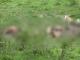 vaci moarte