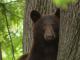 Ședință foto inedită în SUA. Un urs ieșit la plimbare prin oraș a pozat liniștit într-un copac